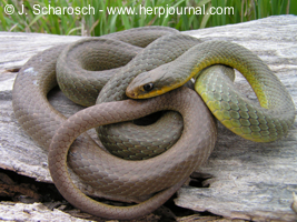 Coluber constrictor flaviventris