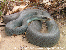 Coluber constrictor foxii