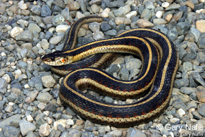 Valley Gartersnake
