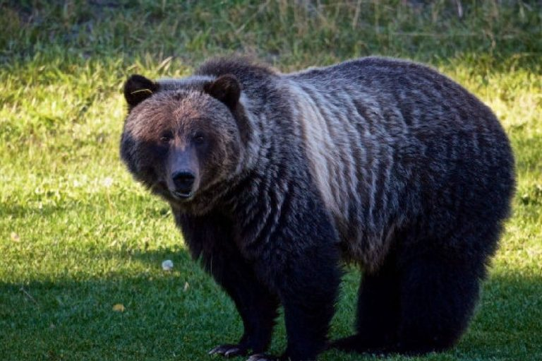 Ban Hunt of Grizzlies